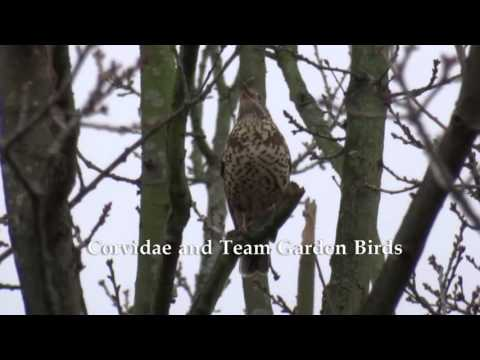 Mistle Thrush's Alarm Call