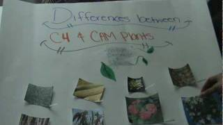 the difference between cam and c4 plants