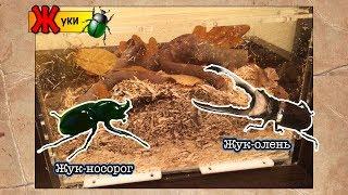 Содержание жуков дома, жук-носорог, жук-олень // Xylotrupes Gideon // Cyclommatus metallifer