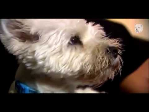Animal Planet Dogs 101 / West Highland White Terrier