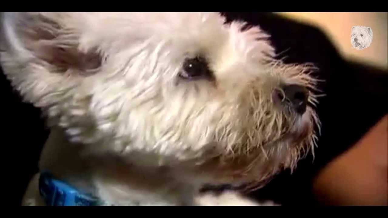 Animal Planet Dogs 101 / West Highland White Terrier - YouTube