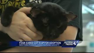 4つの耳を持つ猫、その特異さ故に黒猫ながらすぐに里親が決まる(アメリカ)
