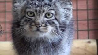Манул - Кошка, нетронутая человеком   Manul Pallas's cat