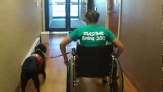 Chief Learning To Walk With A Wheelchair
