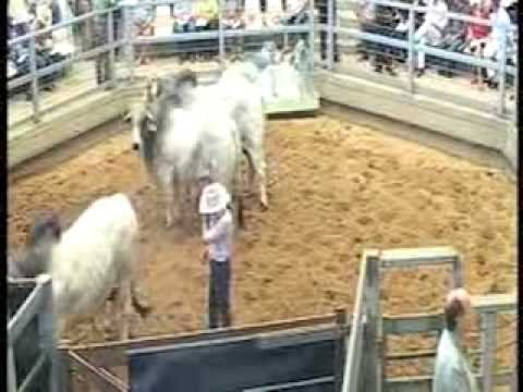 ROCKHAMPTON BRAHMAN WEEK 2008 LIVE WEBCAST LOT150
