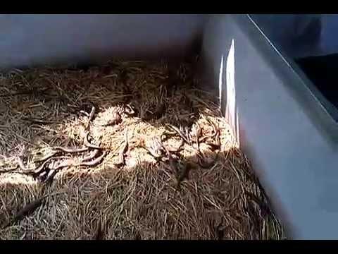 Kỹ thuật nuôi rắn mối - Làm giàu từ nuôi rắn mối