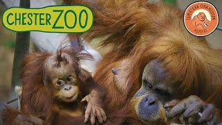 Fun videos for kids || Chester Zoo Orangutan || Monkeys ||