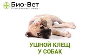 Ушной клещ у собак. Ветеринарная клиника Био-Вет.