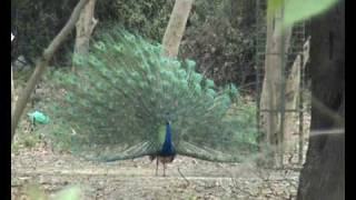 PEACOCK DANCE - A RARE VIEW!