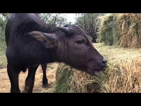 Water Buffalo calf has gotten big! Cutest baby animal ever? (VLOG Update)