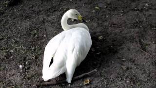 """""""Der Singschwan""""-Live Video von Wolfgang Schmökel"""