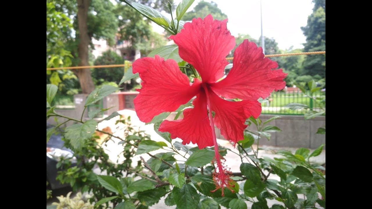 Hibiscus Plant Hindi How To Grow Care Hibiscus Plant In Pots