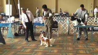 Bluegrass Classic - Cavalier King Charles Spaniel - King Billy Joe Takes Best Of Breed !