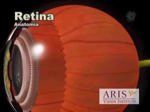 Anatomía retina - YouTube