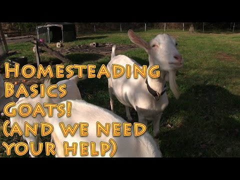 Homesteading Basics Goats