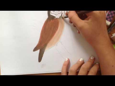 Dessin, en accéléré d'un oiseau Australien (Boobook Owl)