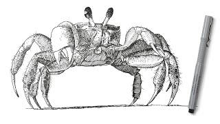 Pen and Ink Draẁing - How to Draw a Crab