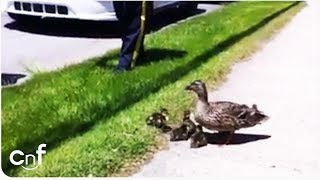 Duck Family Rescue | Lucky Ducks Saved From Storm Drain