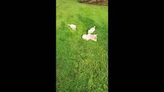 Dennis Troyer's Bichon Puppies