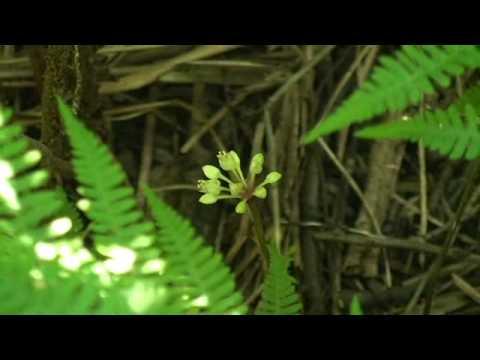 03 Allium tricoccum Séquence 5-Vivaces printanières 1.m4v