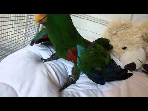 Eclectus parrot Kenji (baby) is testing his flying skills