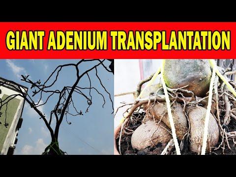 Big 30 Years Old Adenium Transplanting, Giant Desert Rose,अडेनियम बोन्साई, Be the Creator, Mar.18