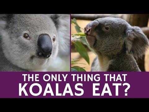 What do Koalas Eat? Adaptations that Help Digesting Toxic Eucalyptus Leaves