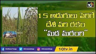 15 అడుగులు పెరిగే దేశీ వరి రకం andquot;మడ మరంగిandquot; | Paddy Cultivation | Matti Manishi  News
