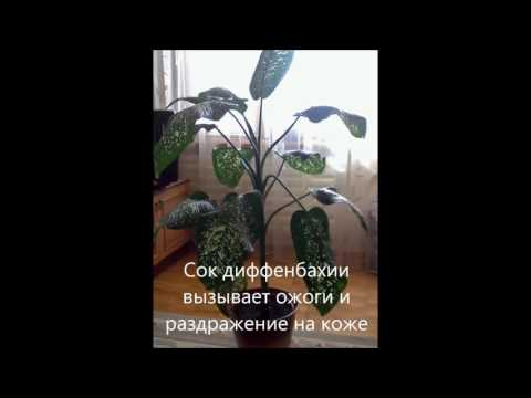 Диффенбахия вред и польза растения