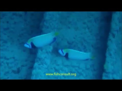 Red Sea Fishes - Emperor Angelfish