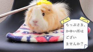 モルモットのモップ☆かゆい所はございませんか?の巻 My cute guineapig thumbnail