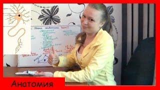 Урок биологии №9.Ткани животных (Часть 2. Мышечная и нервная ткань).