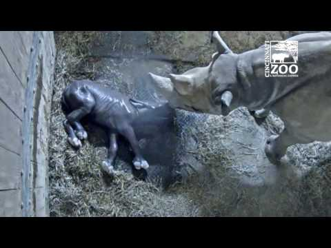 Black Rhino Calf Kendi Update - Cincinnati Zoo