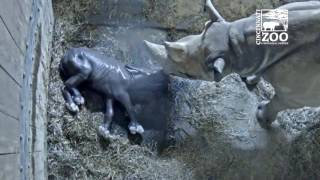 Black Rhino Calf Kendi Update - Cincinnati Zoo thumbnail