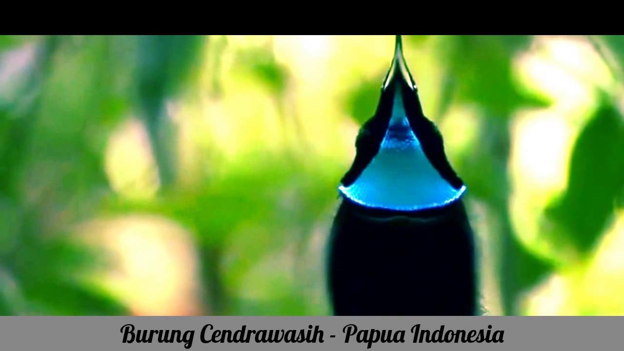 Burung Cendrawasih Papua Indonesia