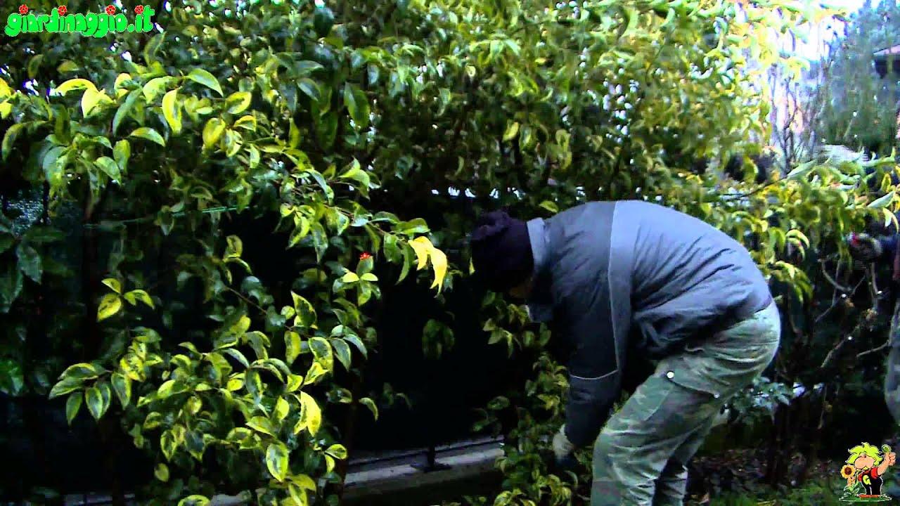 Potare Il Ficus Elastica come potare le piante