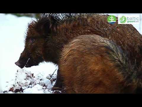 Wild boar - Meža cūka