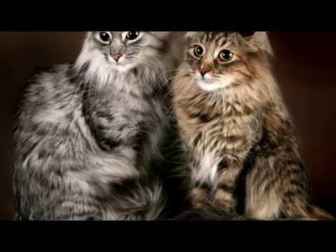 Порода кошек. Американский бобтейл.Шикарная кошка. Любит хозяина и хорошо относится к  детям