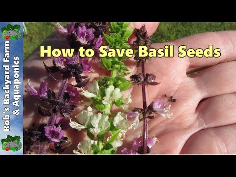 How to Save Basil Seeds