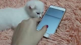 Котенок играет в телефон!