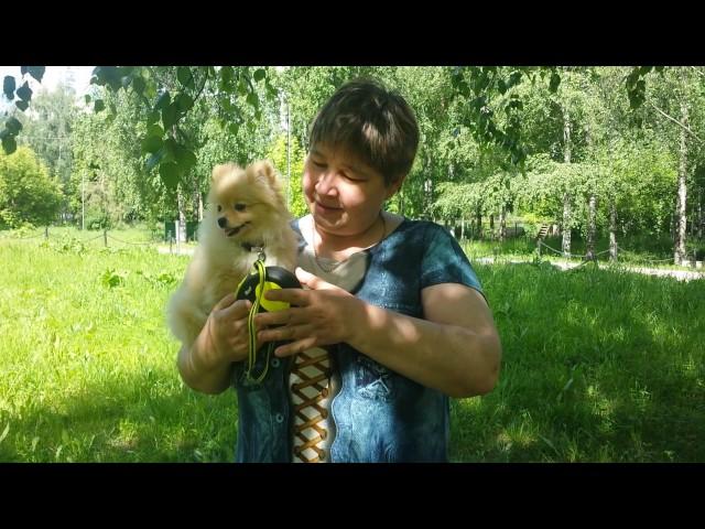 Видеоотзыв -померанский шпиц Мила 4 мес