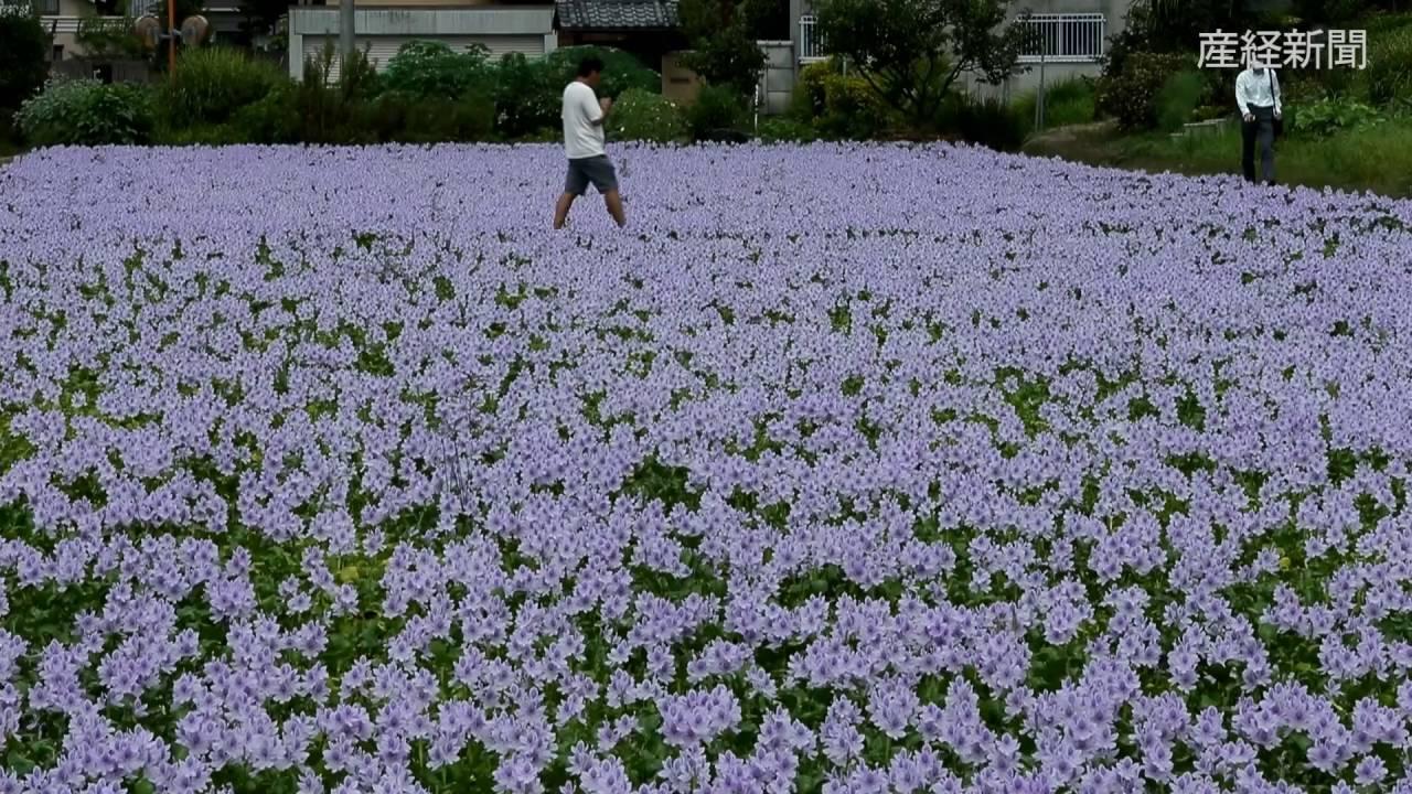 ホテイアオイ 奈良県橿原市 - YouTube