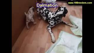 Dalmation, Puppies For Sale, In, Hampton, Virginia, West, Va, Norfolk, Chesapeake, 19breeders