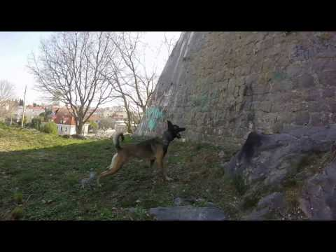 Belgian  Malinois-Jumping on the wall, FOR RAGS, NO SURRENDER