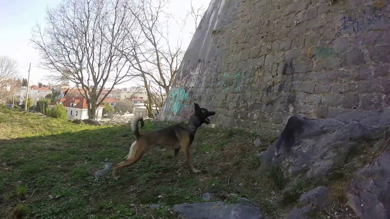 Belgian Malinois-Jumping on the wall, FOR RAGS, NO