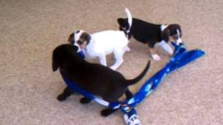 Three Beagle / Boxer Mix Puppies From Secondhand Hounds (2)