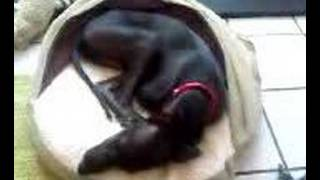 Italian Greyhound talking in his sleep