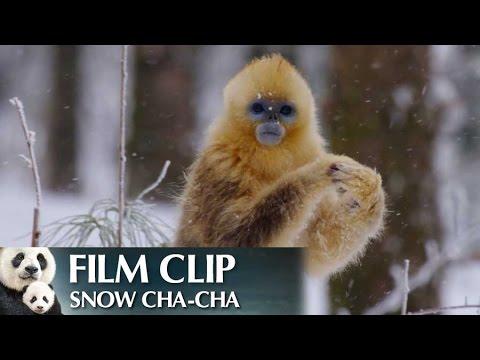"""""""Snow Cha-Cha"""" Clip - Disneynature's Born in China"""