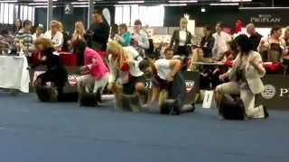 World Dog Show 2012 /wds2012/ Yorkshire Terrier Male Intermediate Class