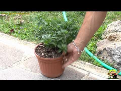 coltivare il solanum